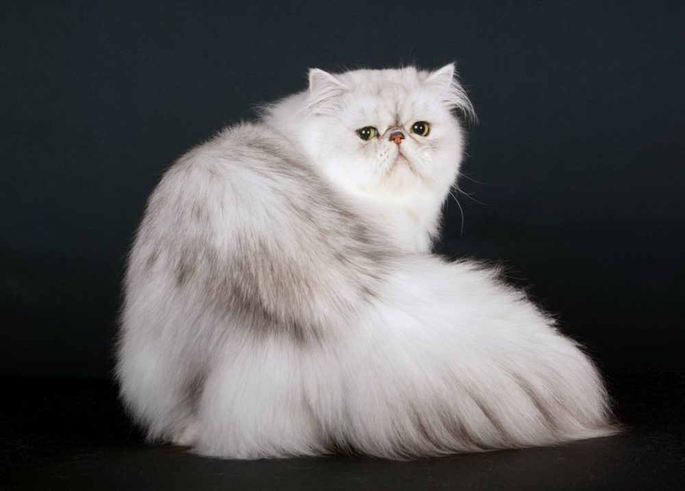 Persian Cats Were at World's First Cat Show